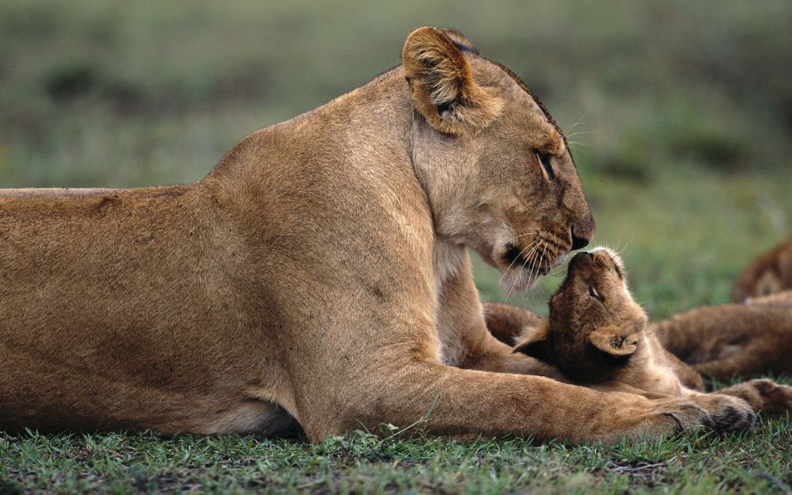Nature lions baby animals wallpaper
