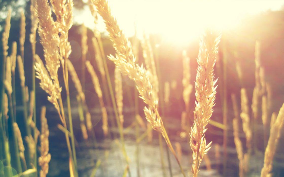 Nature sun wheat macro wallpaper