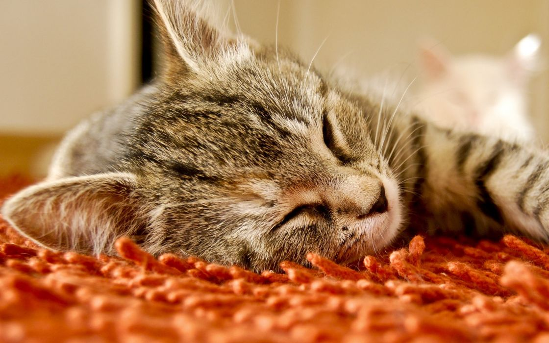 Cats carpet sleeping wallpaper