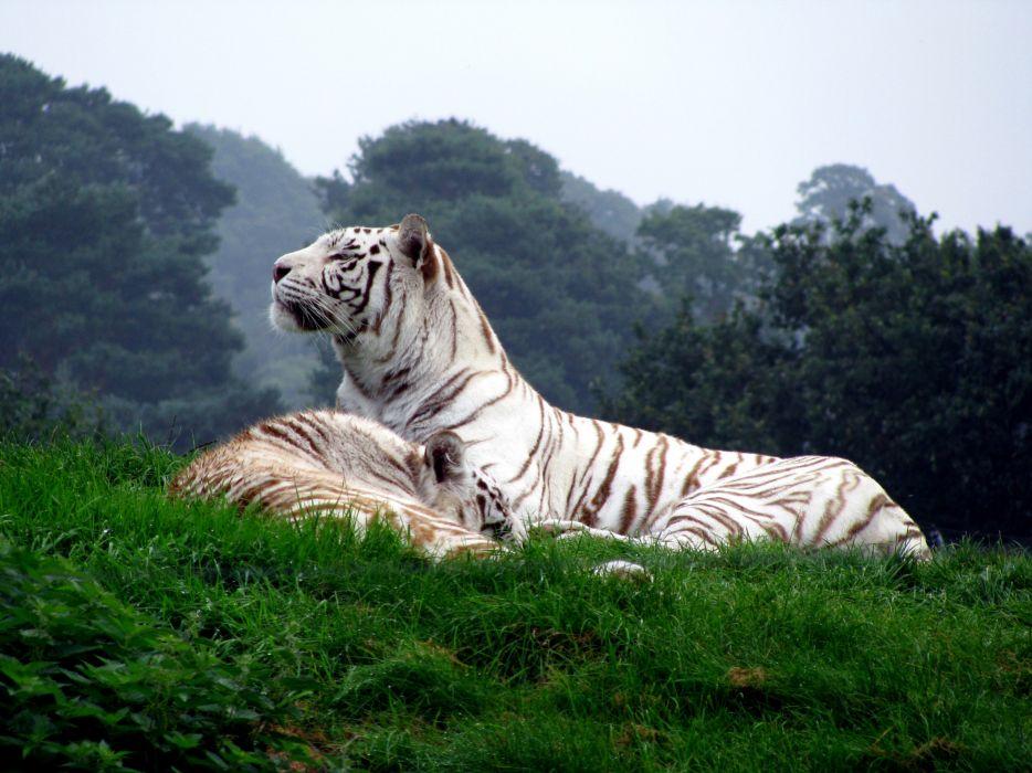 White animals tigers wallpaper