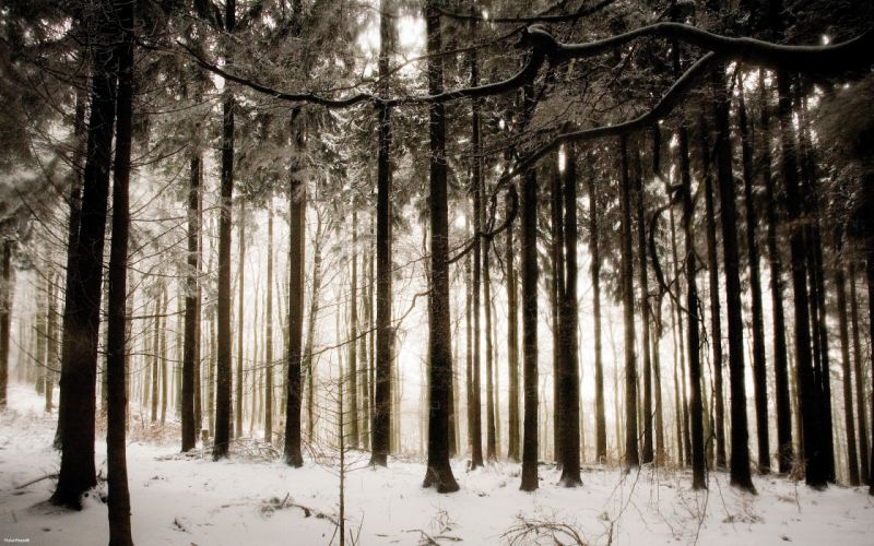 Snow trees forest wallpaper