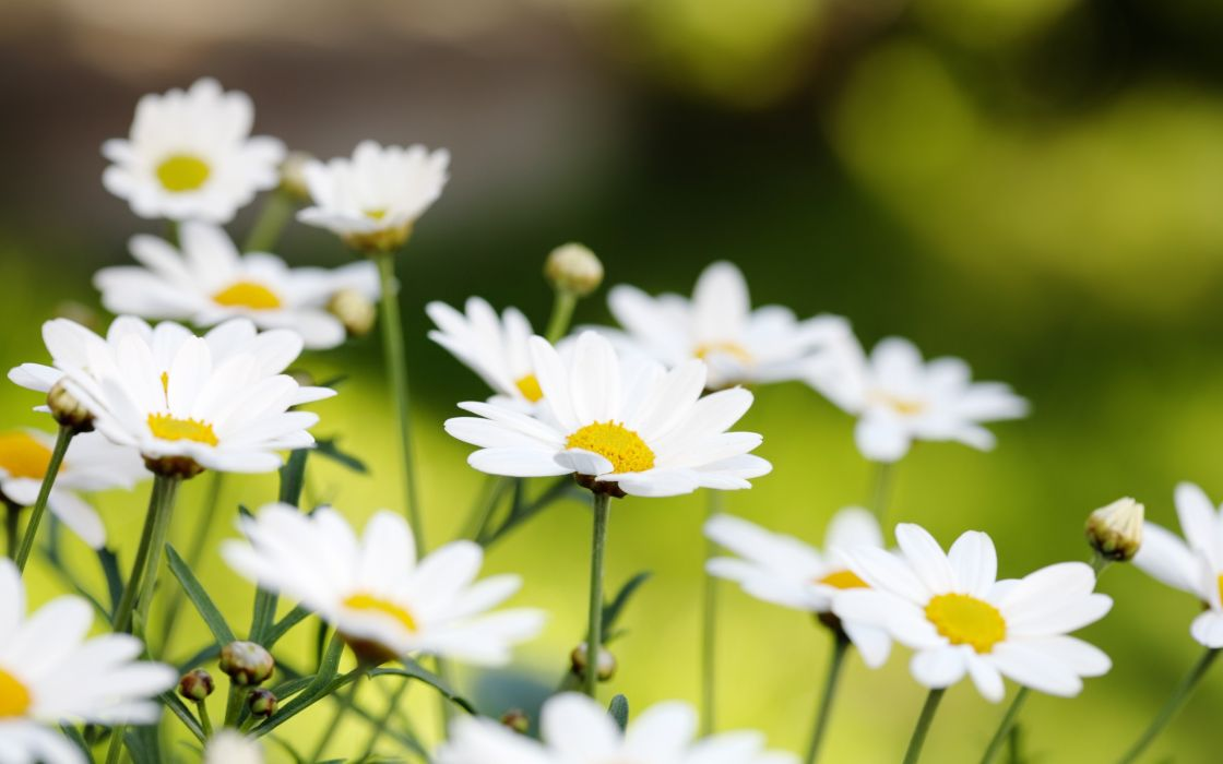Nature flowers daisy depth of field wallpaper
