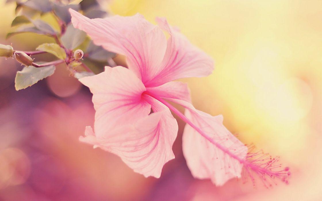 Flowers hibiscus wallpaper