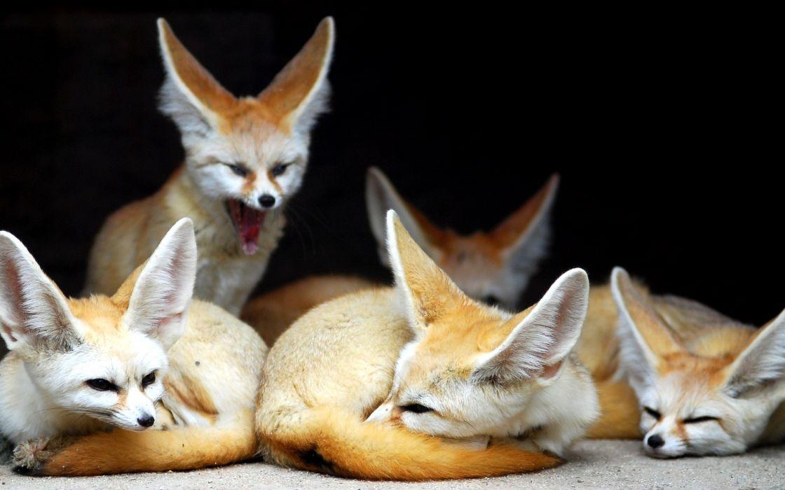 Animals fennec wallpaper