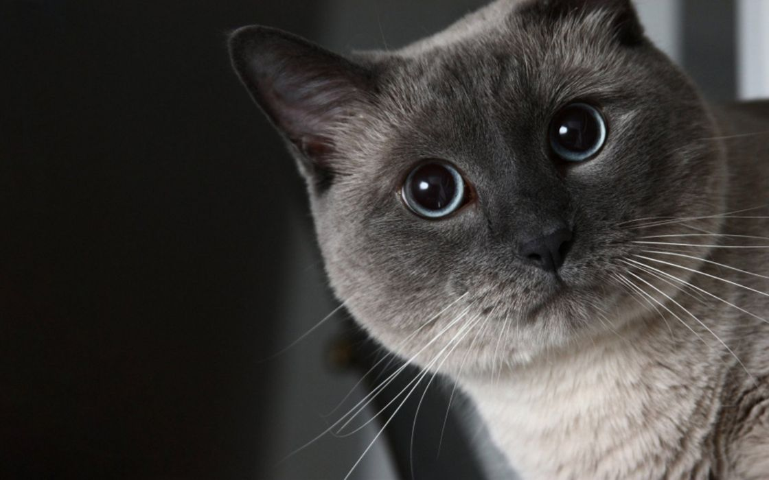 Cats animals big eyes wallpaper
