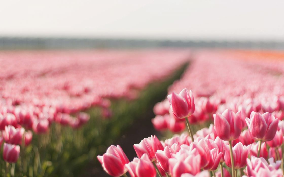 Flowers tulips plantation wallpaper