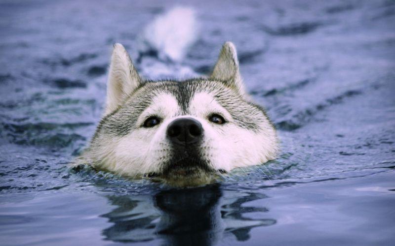 Water animals dogs swimming huskies wallpaper