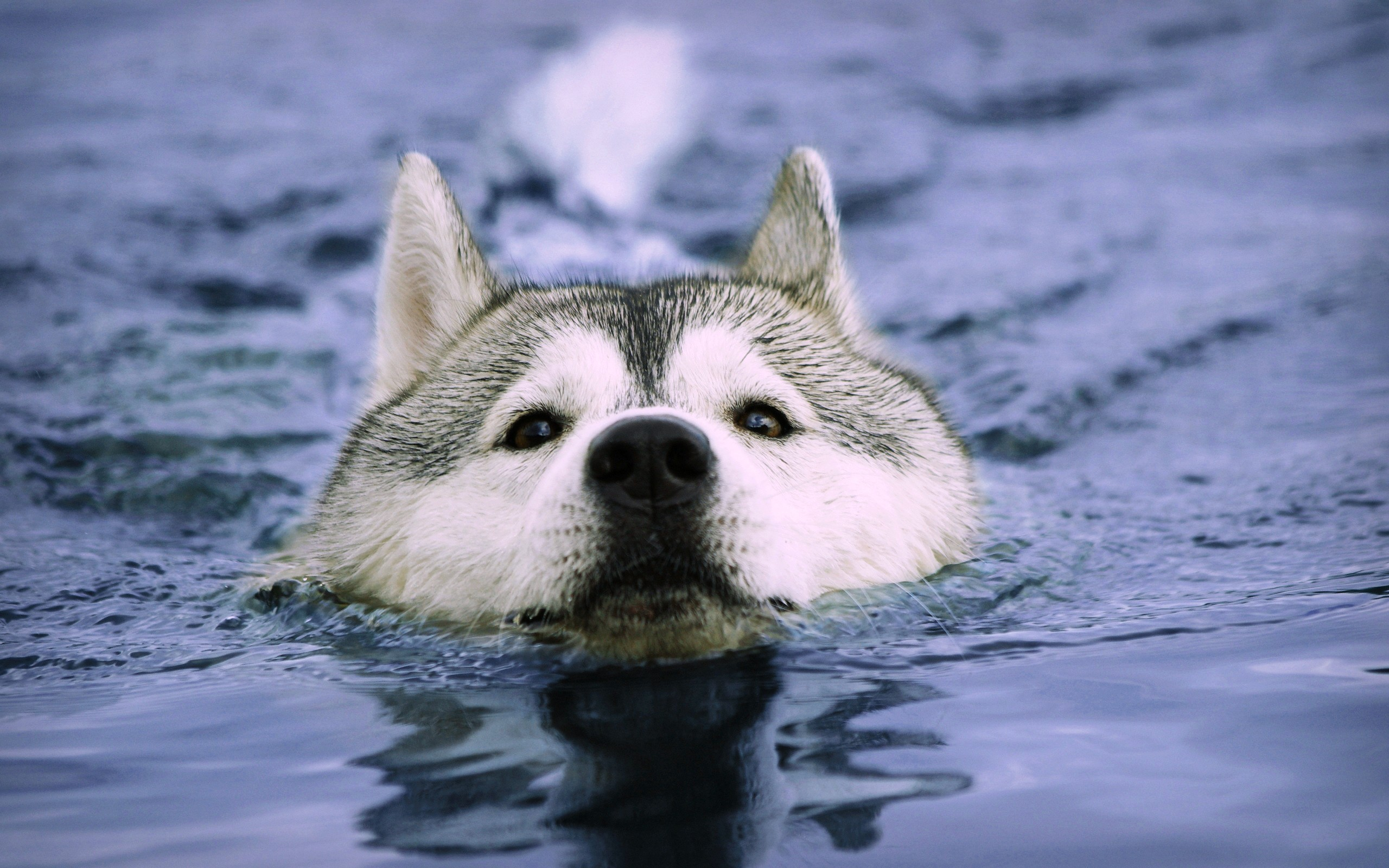 Dogs: Water Animals Swimming Dogs Pets Picture Desktop for HD 16:9 ...