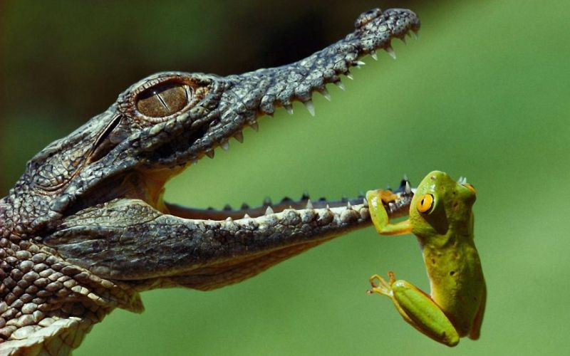 Hanging frogs crocodiles jaws reptiles amphibians wallpaper