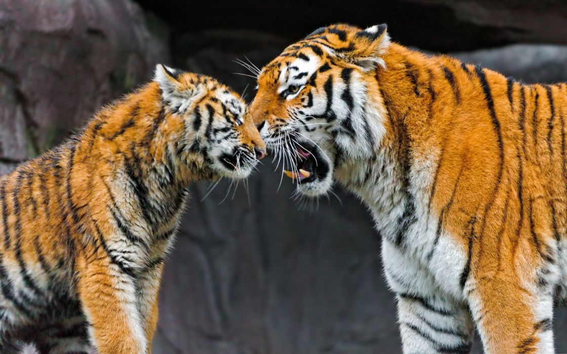 Love family animals tigers zoo wild animals baby animals wallpaper