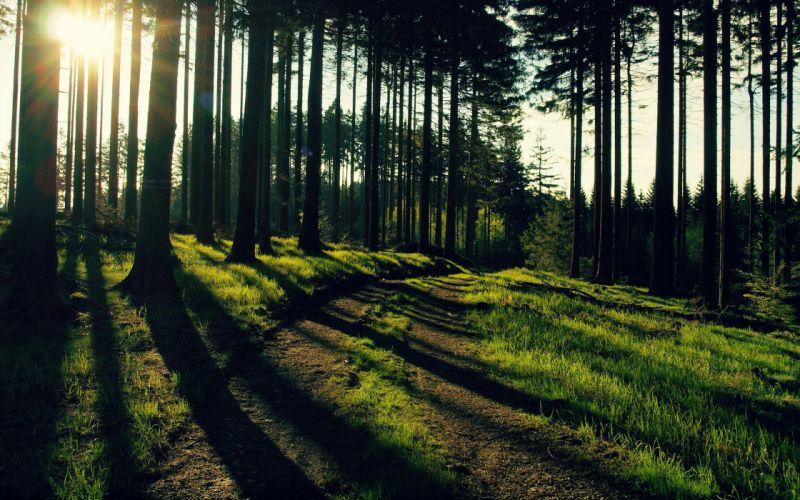 Nature trees forest path sunlight wallpaper