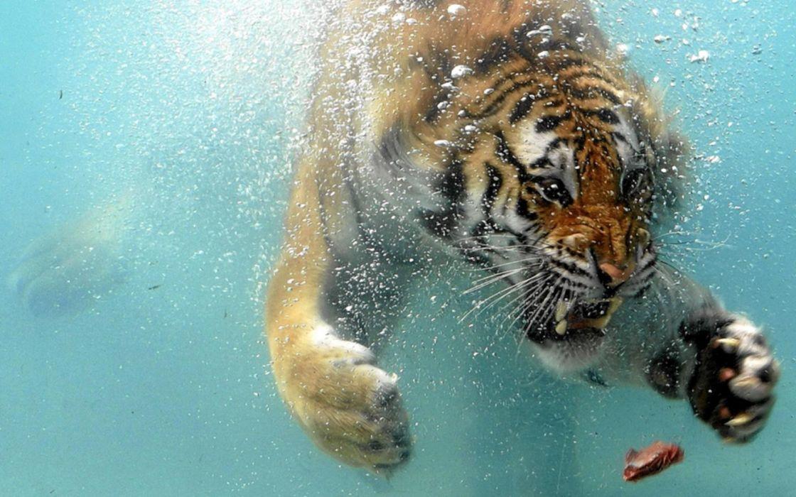 Animals tigers swimming underwater wallpaper