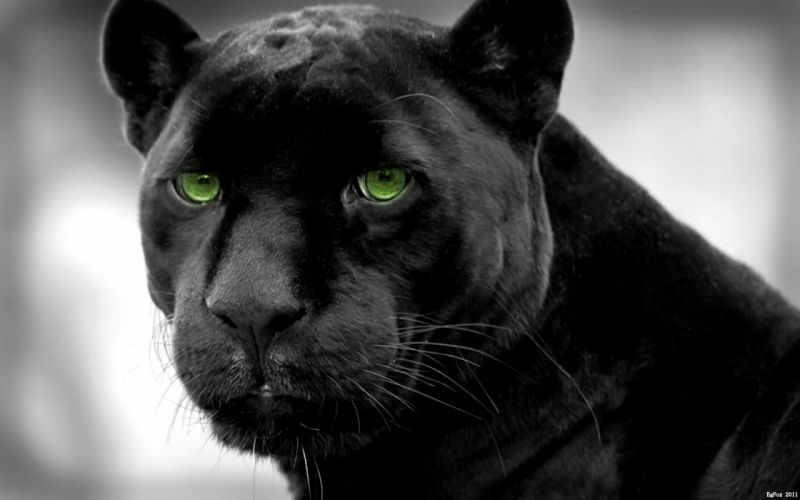 Panthers selective coloring black panther wallpaper