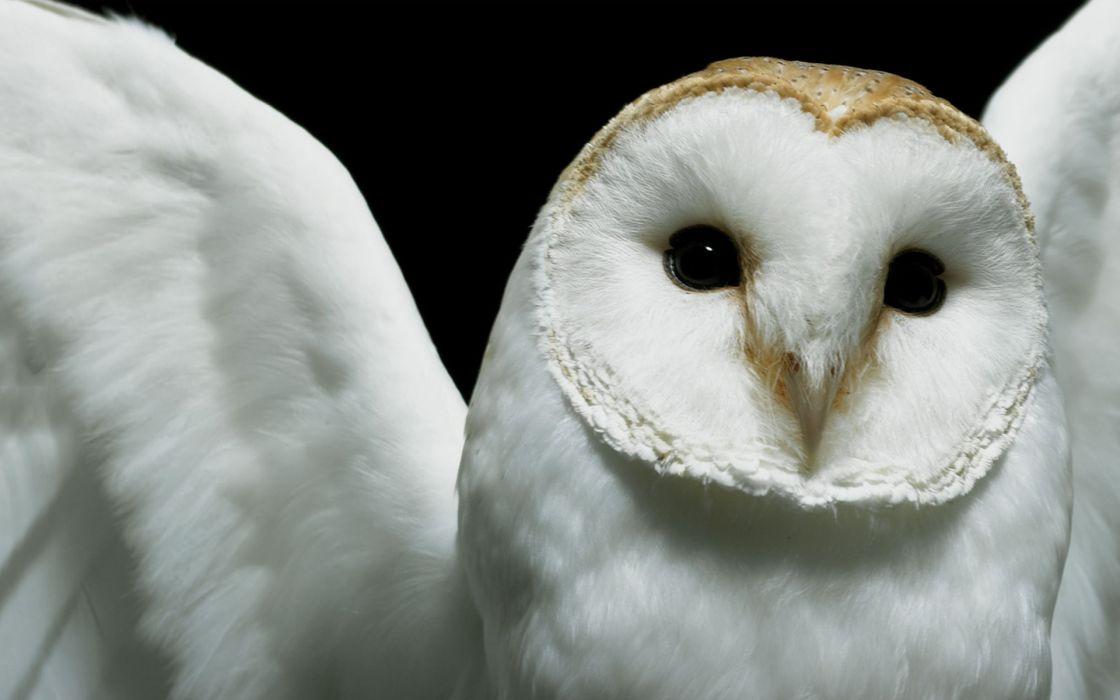 Birds owls wallpaper