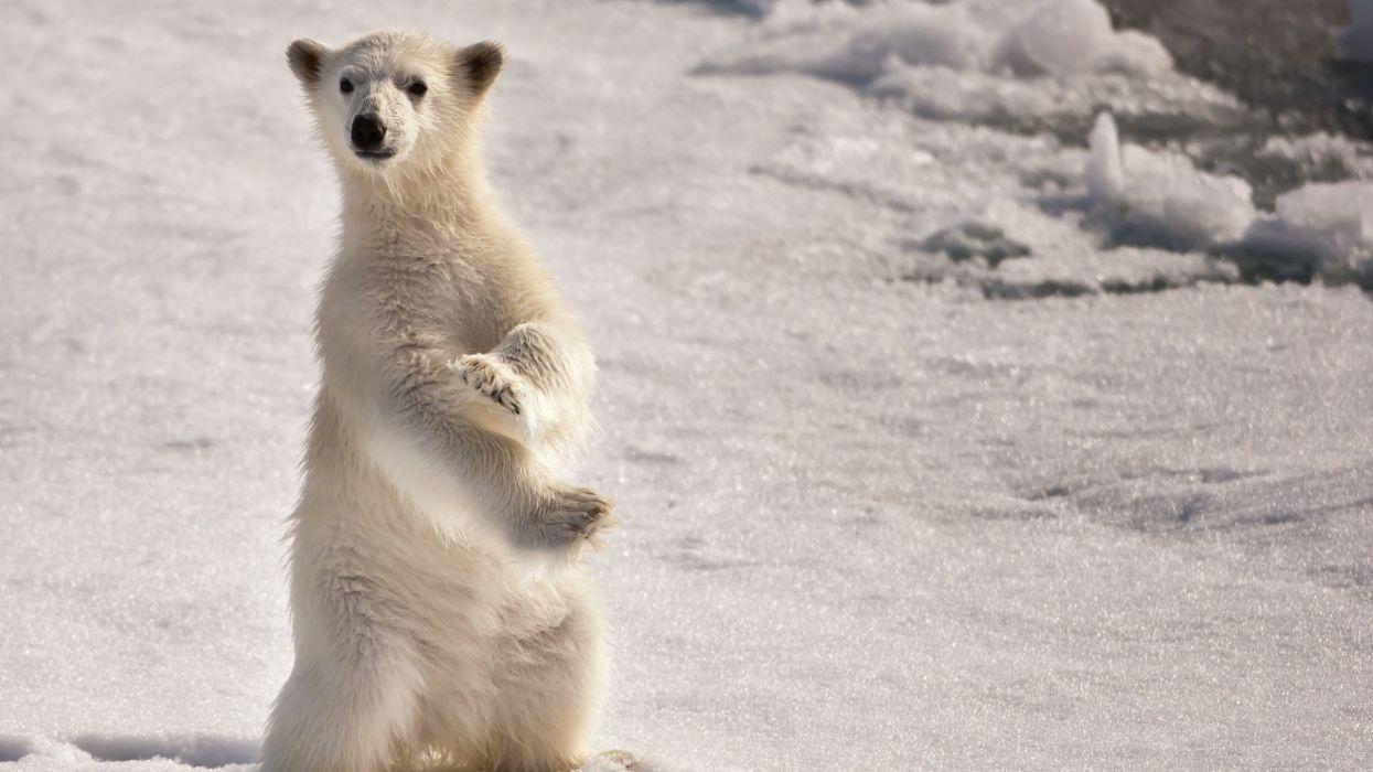 Ice snow animals polar bears baby animals wallpaper