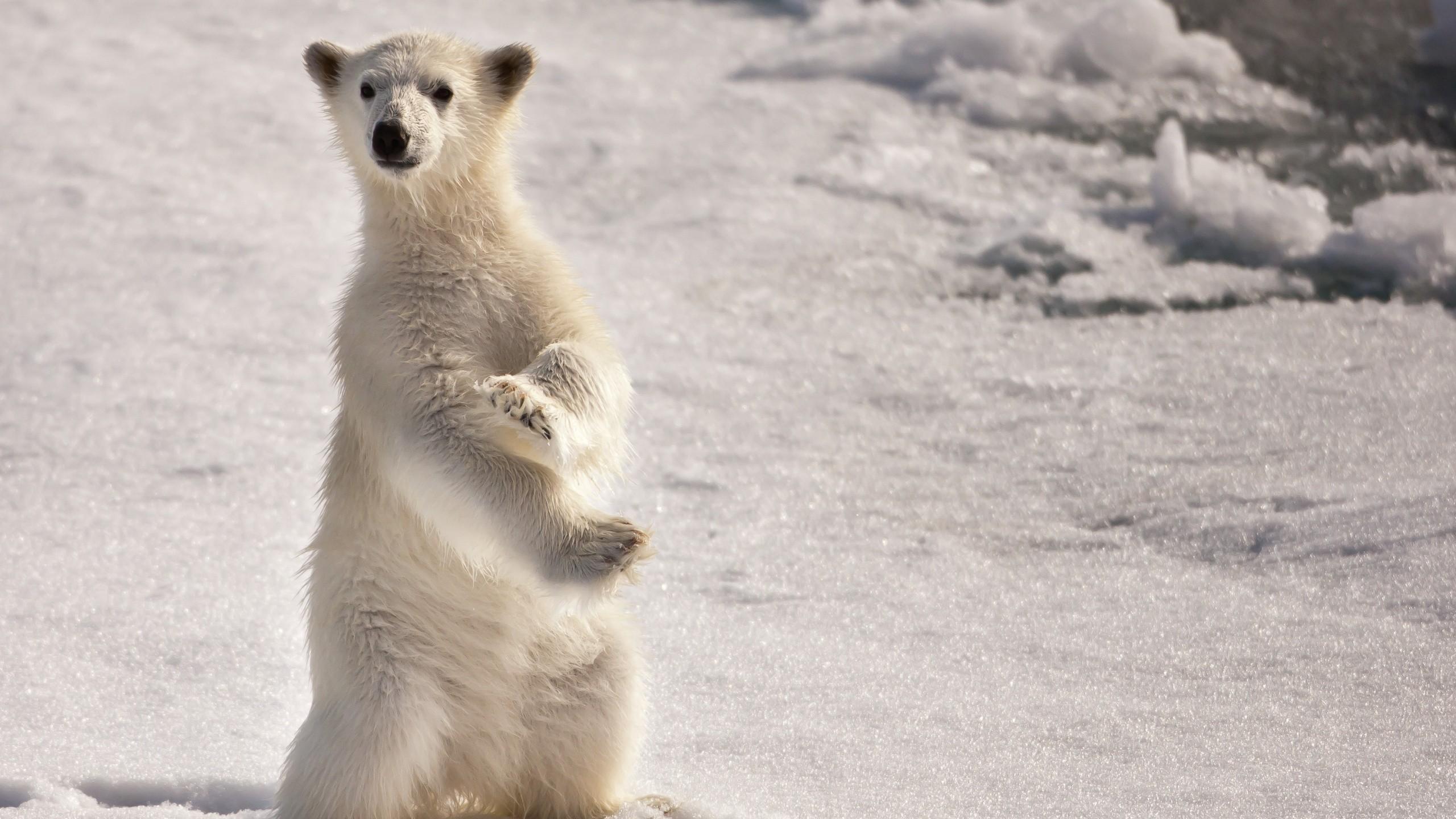 Ice snow animals polar bears baby animals wallpaper | 2560x1440 ...