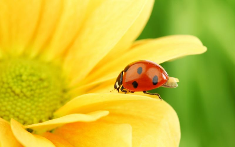 Nature flowers animals insects plants flower petals ladybirds wallpaper