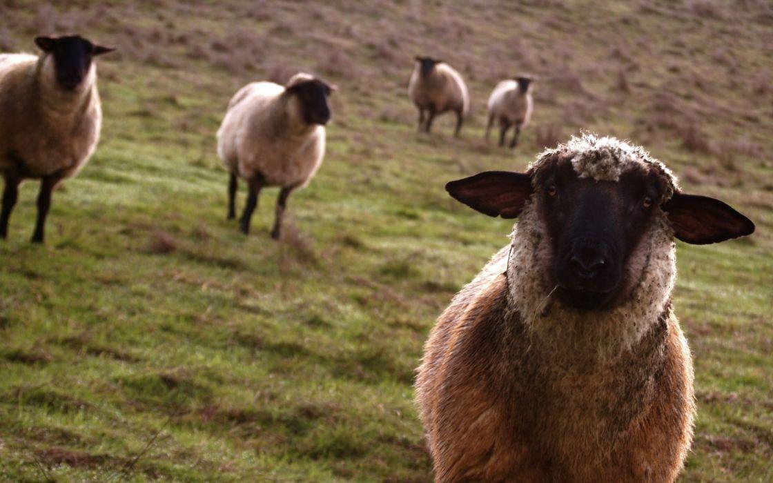 Meadow sheep wallpaper