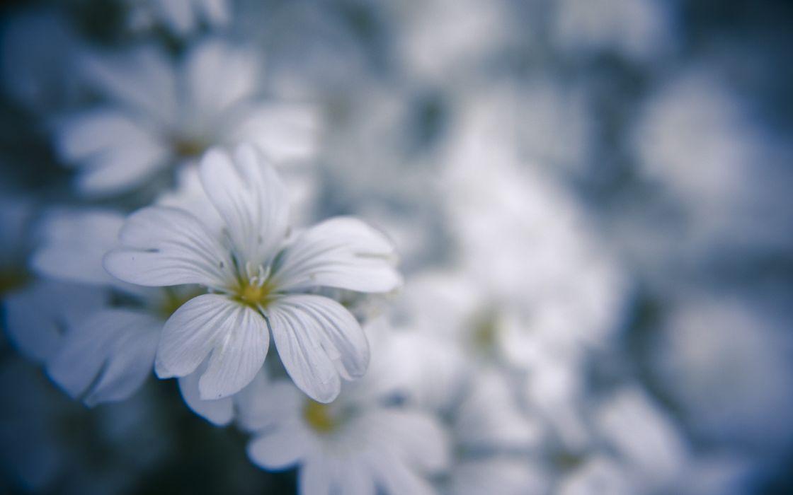 Nature flowers macro white flowers wallpaper