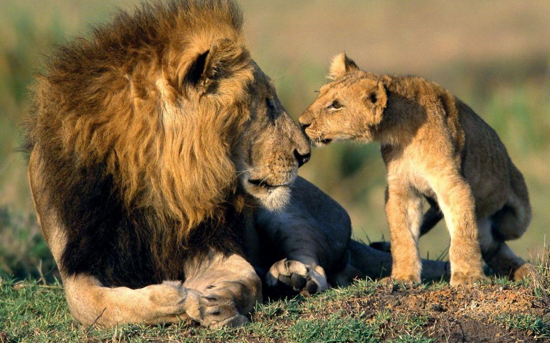 Animals lions baby animals wallpaper