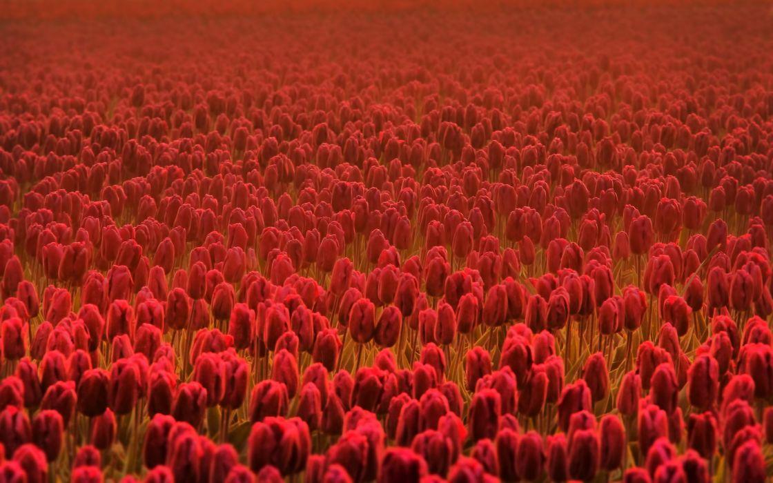 Flowers fields tulips wallpaper