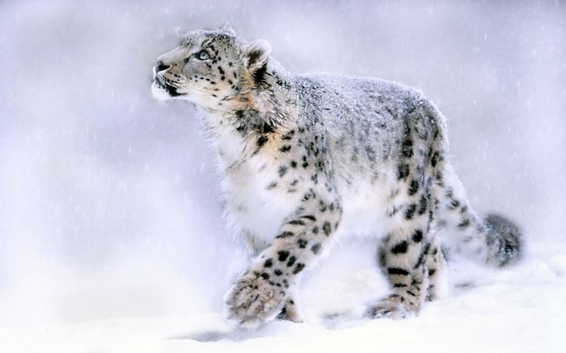 Animals feline leopards wallpaper