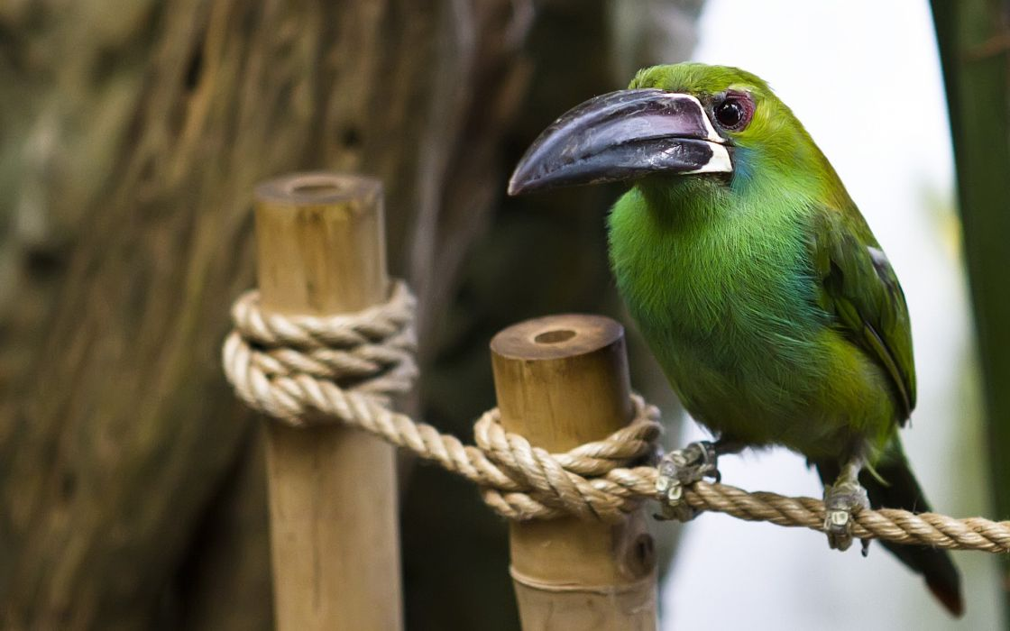 Ropes toucans birds wallpaper