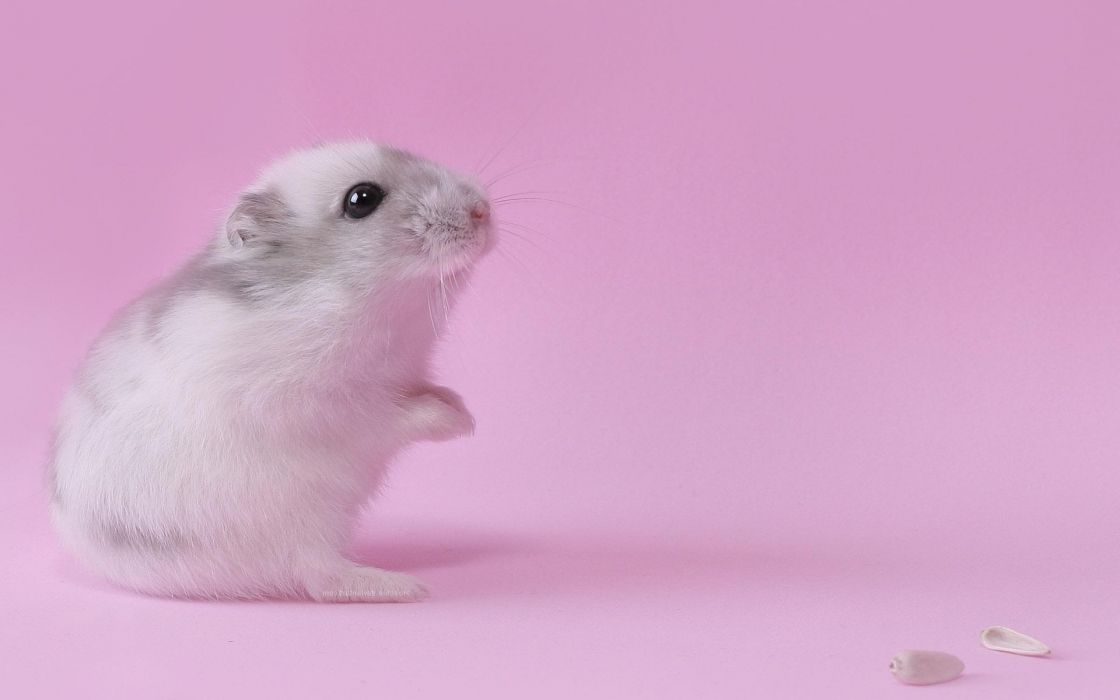 Pink animals hamsters black eyes wallpaper