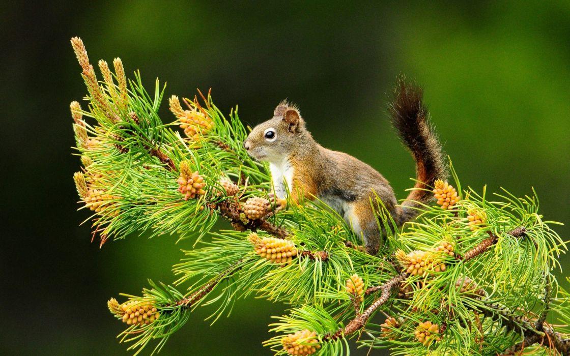 Nature animals squirrels depth of field pine wallpaper