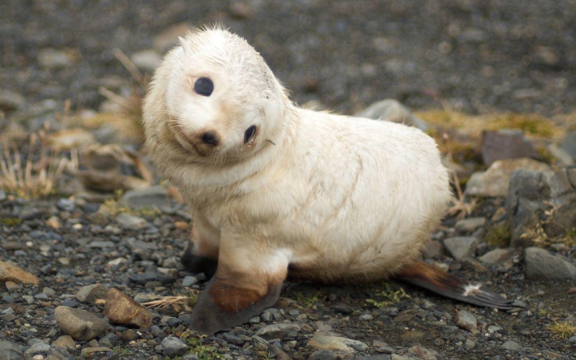 Seals animals wallpaper