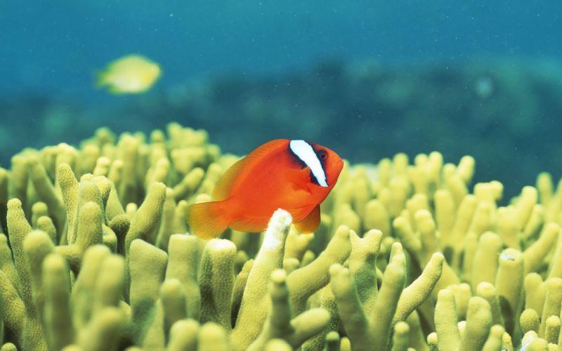 Fish clownfish sea anemones wallpaper