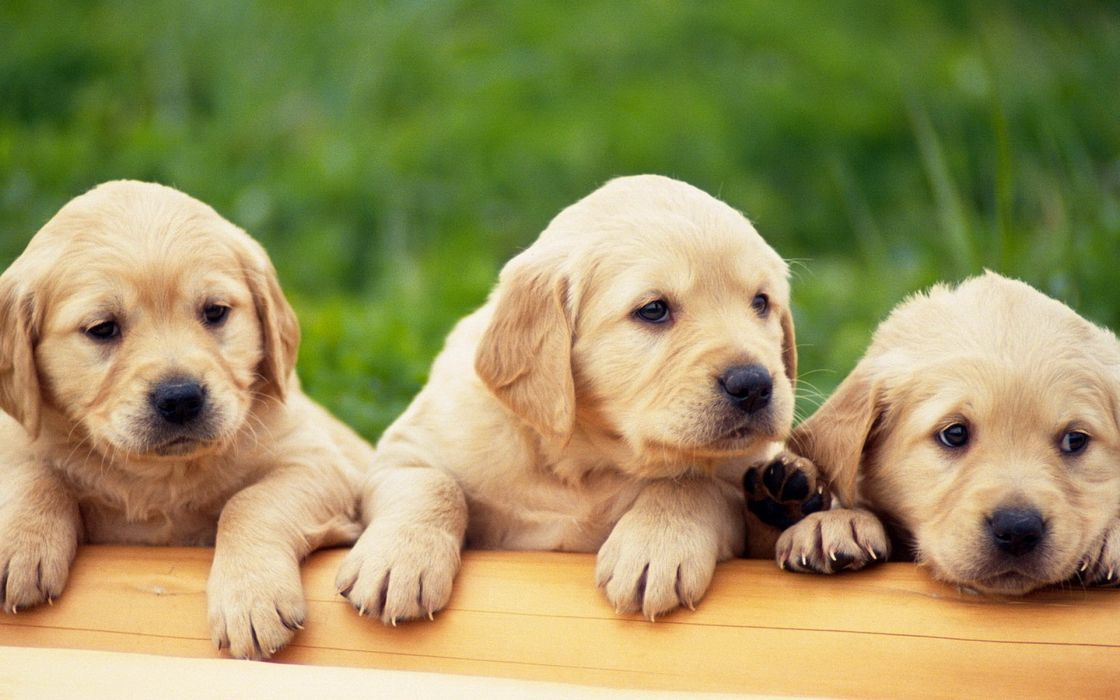 Animals dogs puppies pets labrador retriever labradors wallpaper
