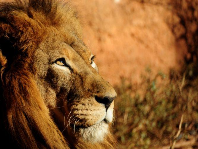 Animals lions depth of field wallpaper