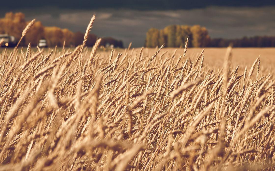 Landscapes nature fields wheat macro depth of field spikelets wallpaper