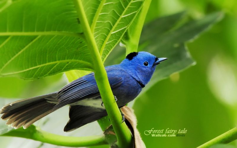 Birds blue bird wallpaper