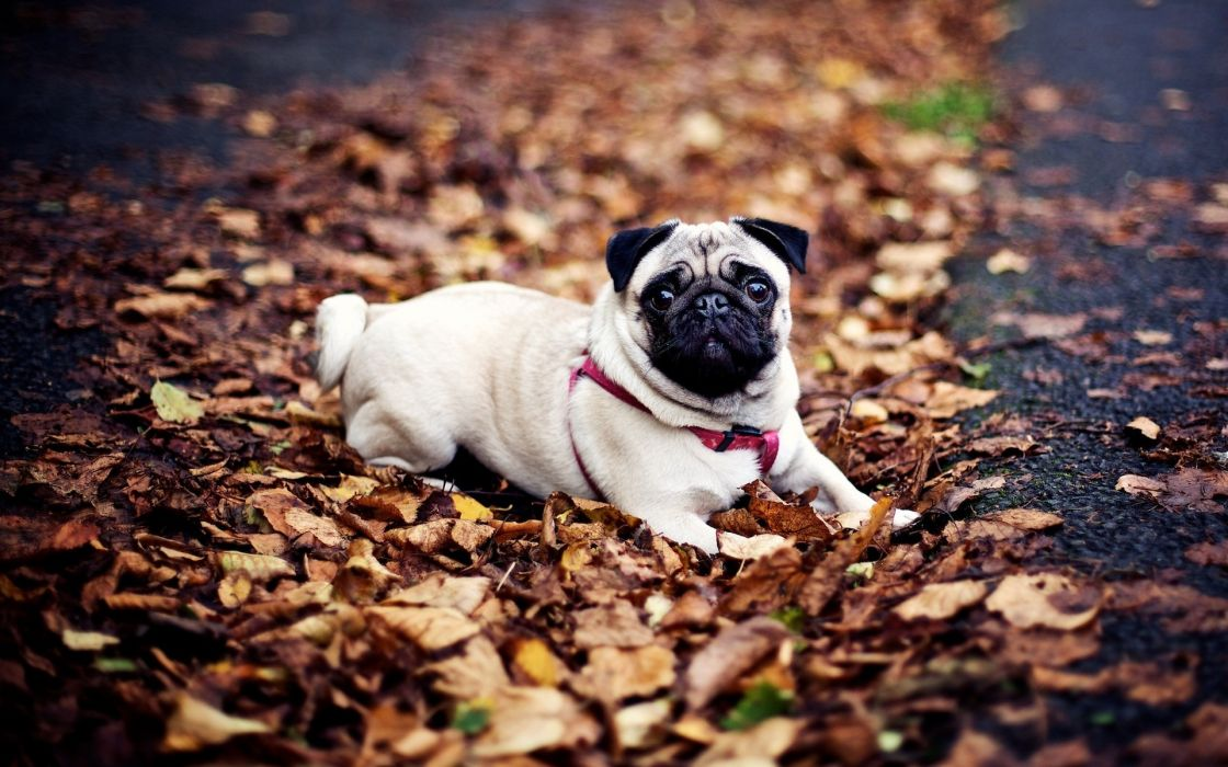 Animals dogs pets pug wallpaper
