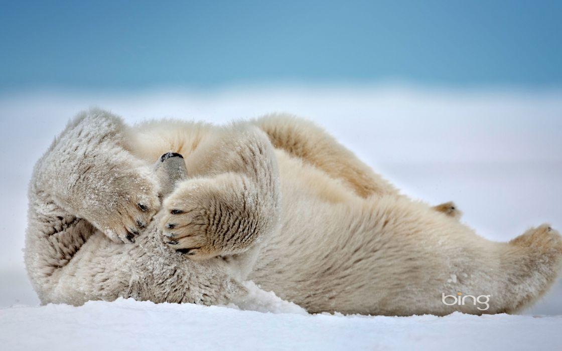 Nature snow animals depth of field polar bears wallpaper