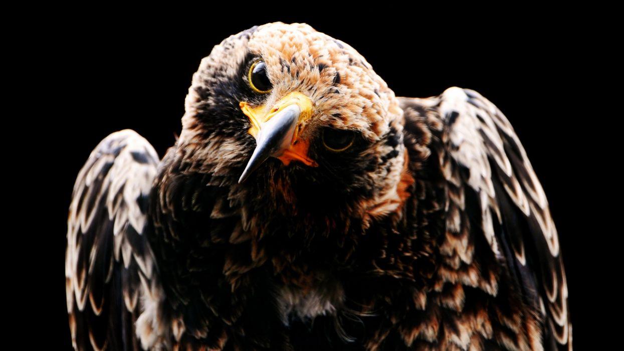 Nature birds hawks wallpaper