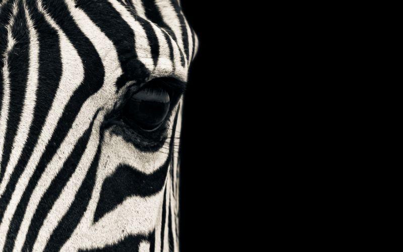 Up eyes animals zebras macro mammals stripes wallpaper