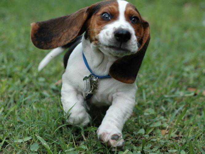 Eyes animals grass dogs running beagle faces wallpaper