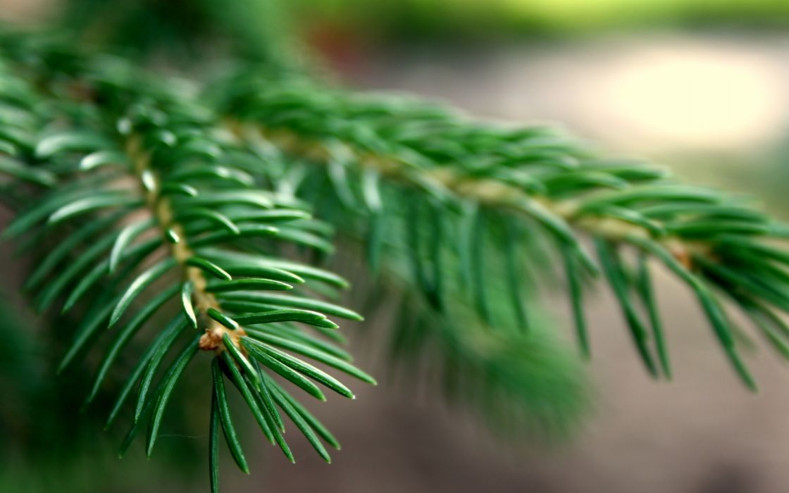 Nature trees macro spruce branches wallpaper