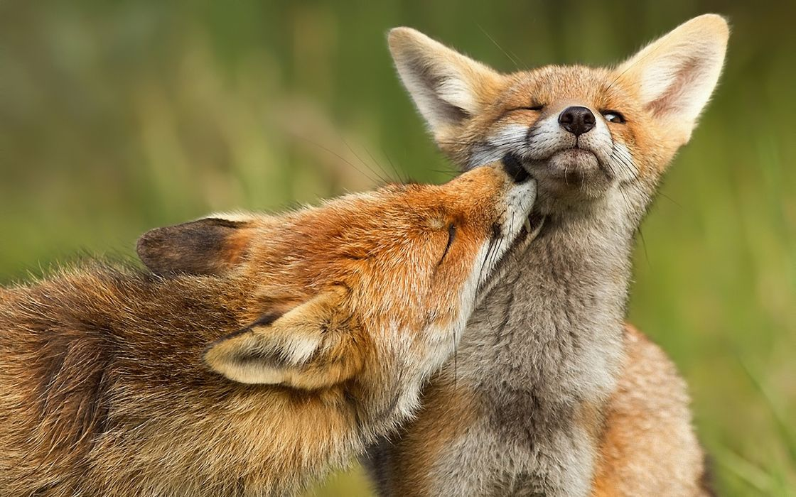 Red baby animals mother canine foxes wallpaper