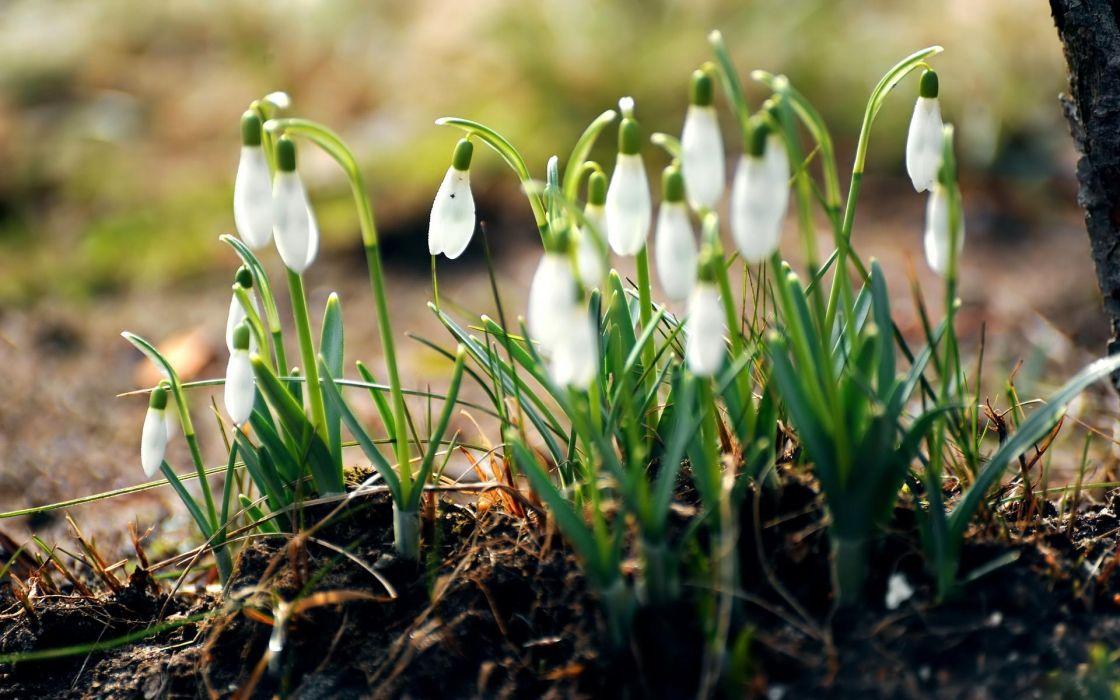 Nature flowers spring (season) snowdrops wallpaper