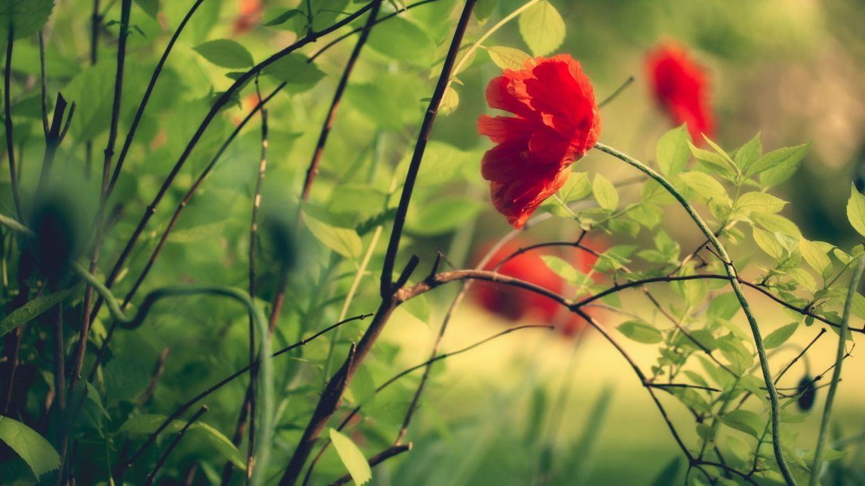 Flowers grass plants macro poppy wallpaper