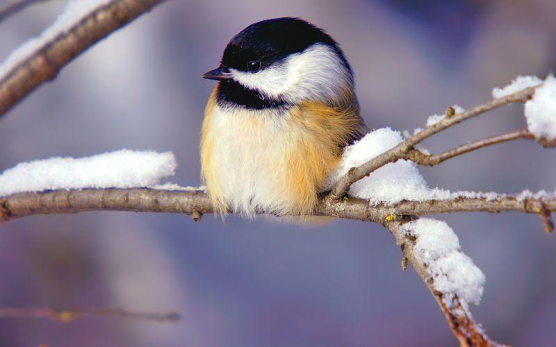 Winter (season) birds chickadee wallpaper