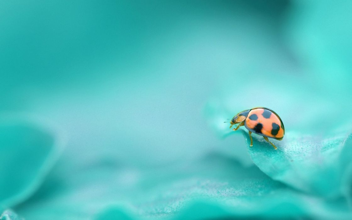Bugs macro ladybirds wallpaper