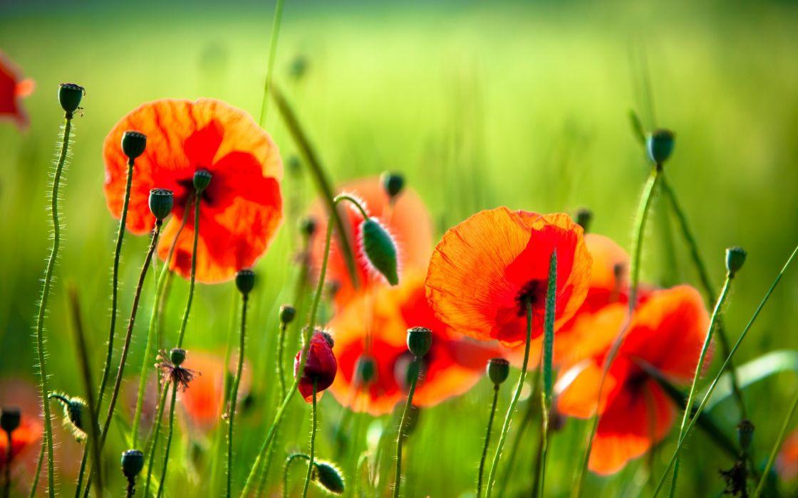 Nature flowers poppy wallpaper