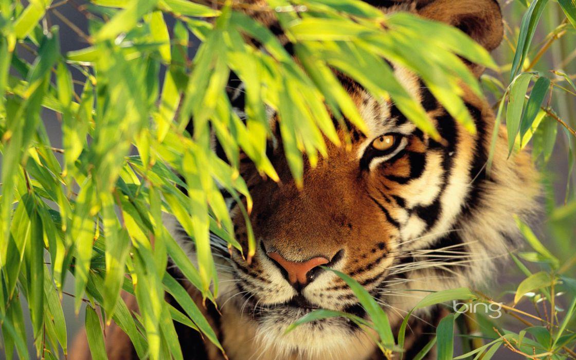 Tigers watermark wallpaper