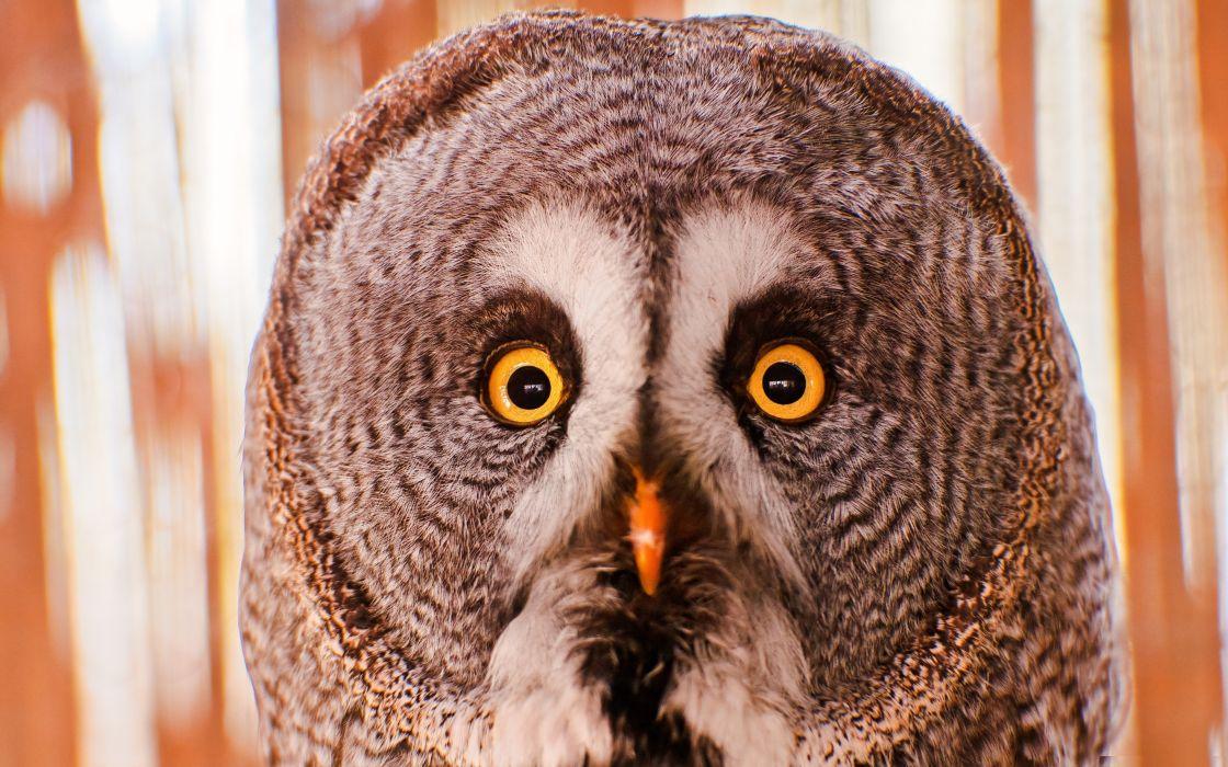 Birds animals owls portraits wallpaper