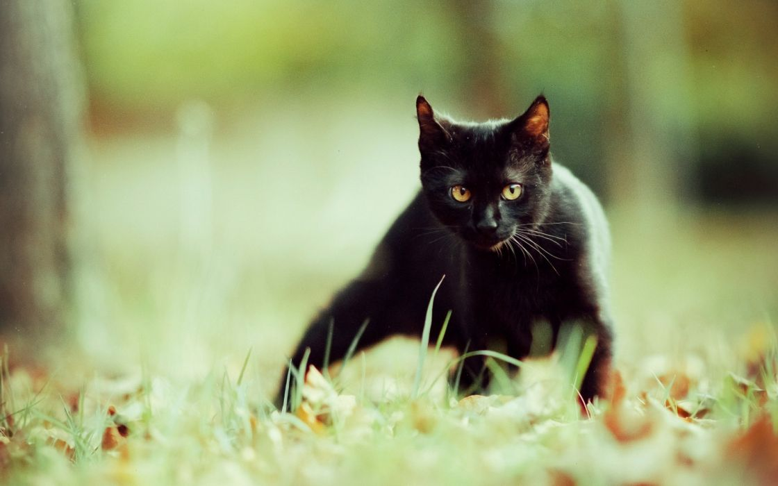 Black cats animals focus wallpaper